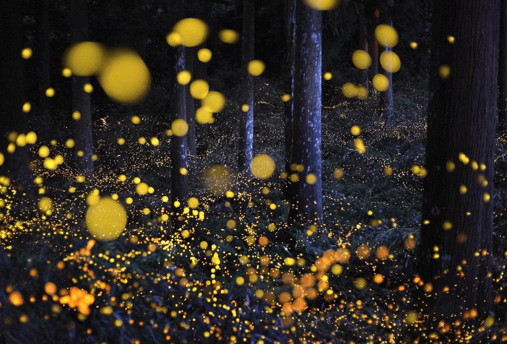 Fireflies 5